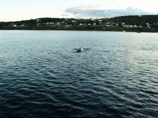 witless bay humpback whales newfoundland