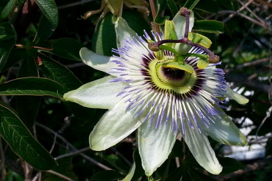 parens nature flower passionflower