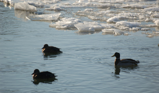 cold ducks river taw