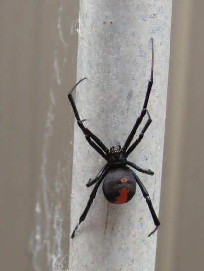 local poisonous spider red back not welcome home perth littleollie