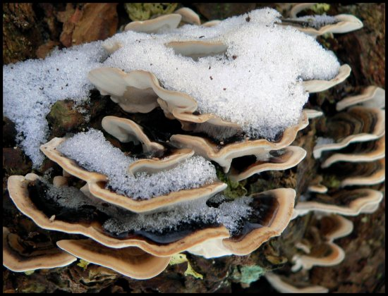winter snow fungi