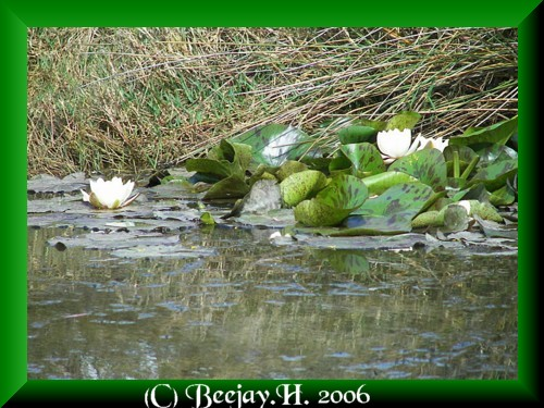 Wild waterlillies and reflections.  Sweeeeeeet.   ;)