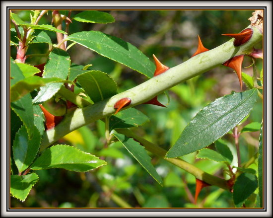 Here is my question of the day; Why do rose stems have thorns?  I was out shooting more photos of...