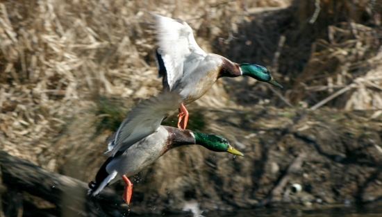 mallard duck birds canada flight
