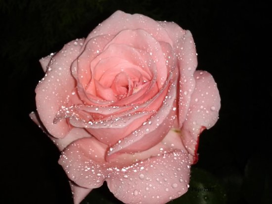 Pink roses in the rain janos garden