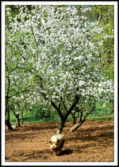 pig animal tree blossoms