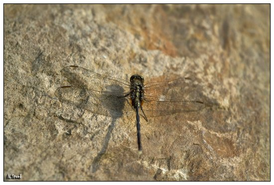 pet animal dragonfly