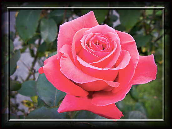 Rose Plant Flower Aloha Oregon
