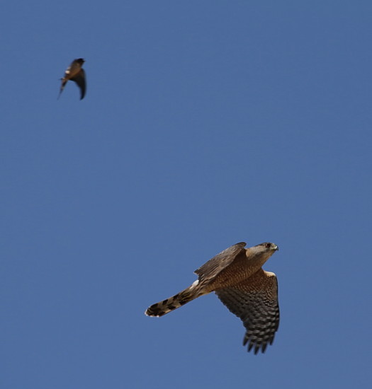 Hawk Harrier Swallow Birds