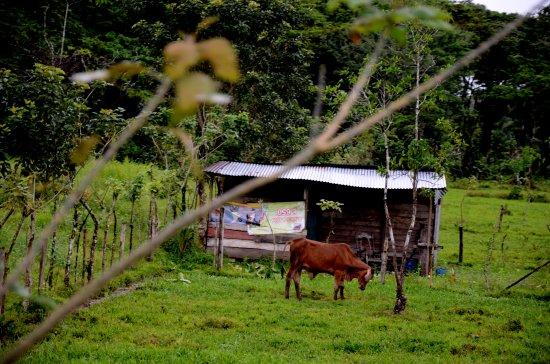 zuiderdam cruise puertolimon costarica farm cows field