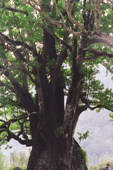 Portugal Madeira island old ancient tree laurissilva world heritage 2005