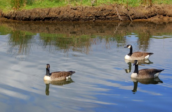 canada geese river wey godalming surrey reflectionthursday