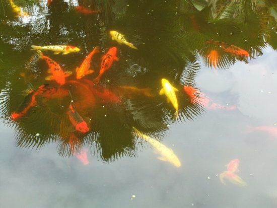 fishes fish pool pond