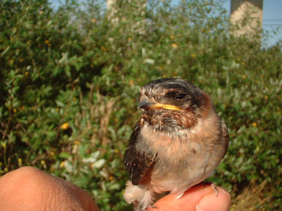 The Release (this summer, my son and I rehabilitated a pair of Cliff Swallow babies and released ...