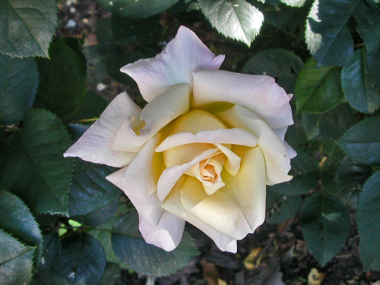 rose white whitefph garden gardenfph summer light