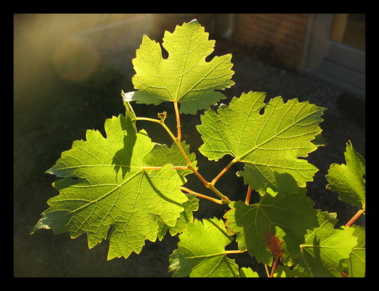 vine grape leaf sunset garden
