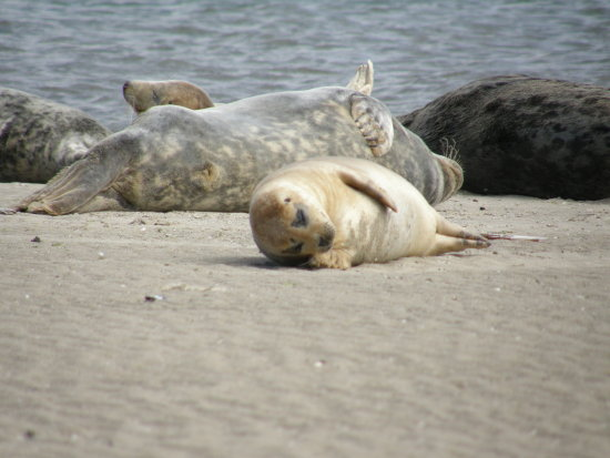 lazy seals on the bull island 2