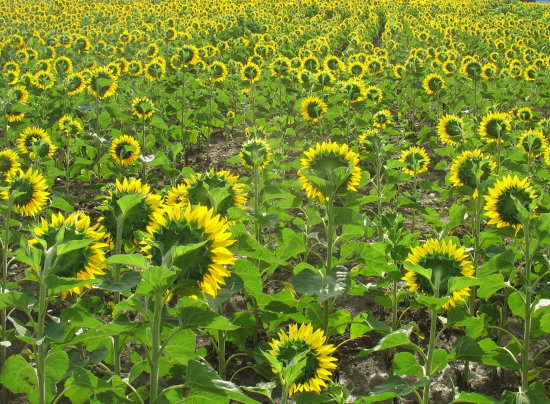 sunflowers france