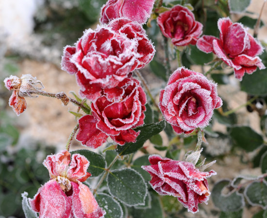roses frost