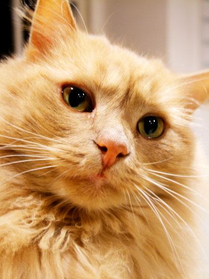 cat fluffy cute ginger eyes crop