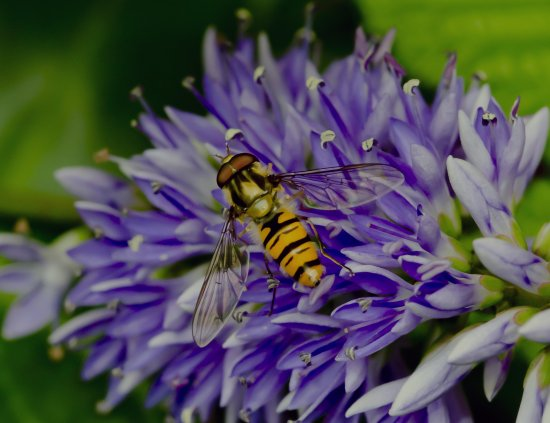 hoverfly wildlife nature garden macro