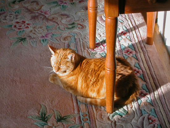 fotothingfriday josefina orange cat joey peaceful joeyfph orangecat rug