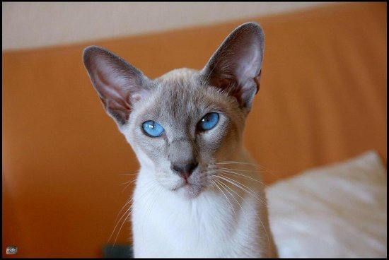 oriental cat cats pet pets siamese siam