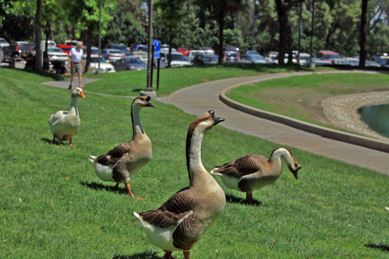 Geese Honkers roncarlin VAGrounds