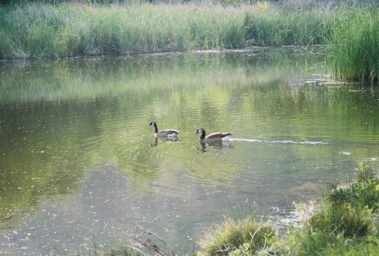 visitors in our pond