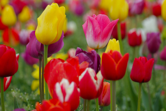 Tulipfest Woodburn Oregon WoodenShoeTulipFarm flowers Tulips