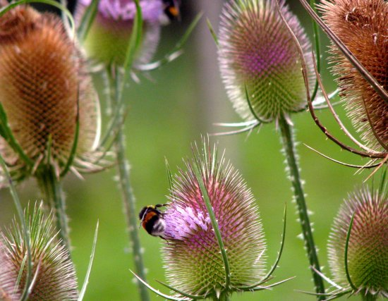 flowers France bug insect summer Thistles bumblebee