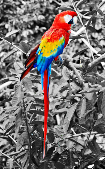 macaw bird guatamala jungle