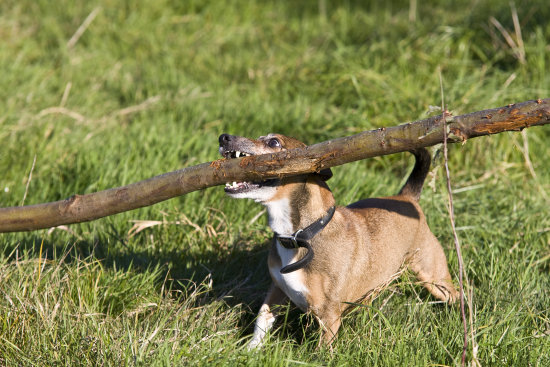 my dog mouse with his stick..
