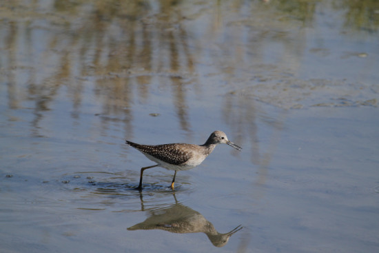 Reifel Delta BC birds yellowlegs