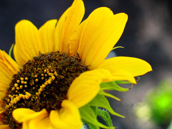 California floral flowers sunflower macro yellow