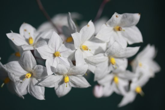 flower flowers garden white jasmine