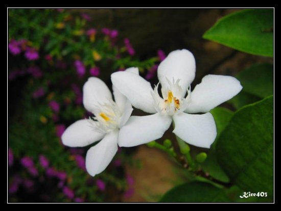 A white flower in the house that i dont know its name lol anyone macro flowers philippines mightylinksfo