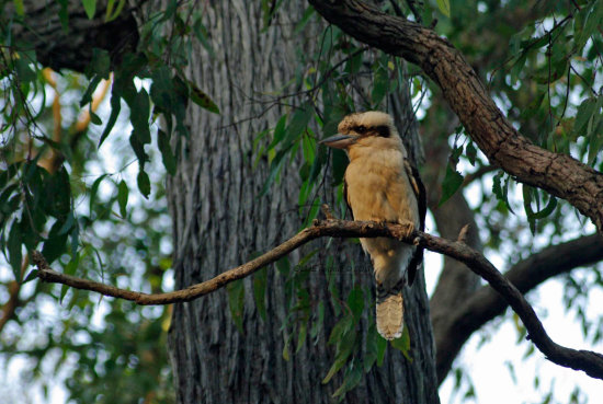 bird Kookaburra visted camping weekend lake wa perth littleollie