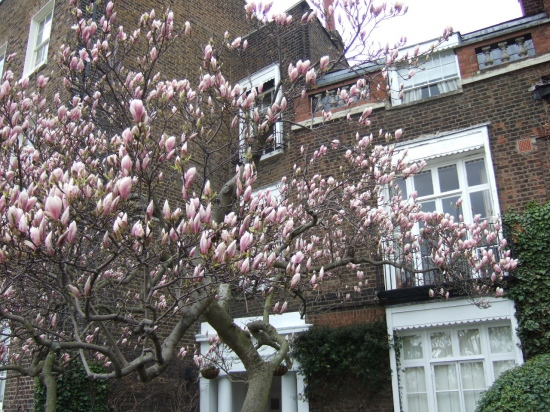 Magnolias London hammersmith