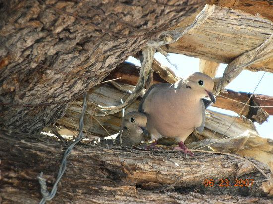 Birds Doves Nest