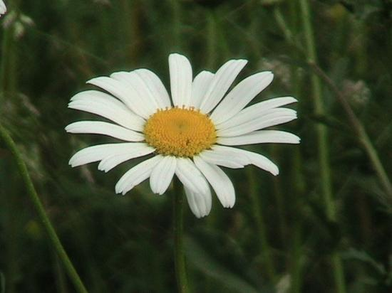 Cute Little Daisy