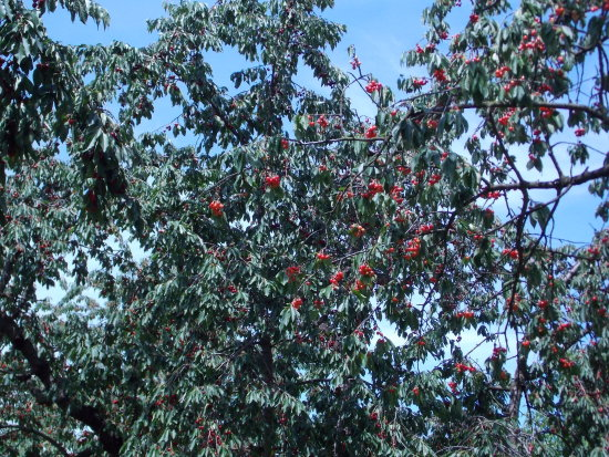 cherry fruit orchard