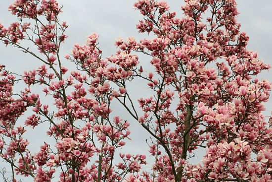 flower magnolia tree