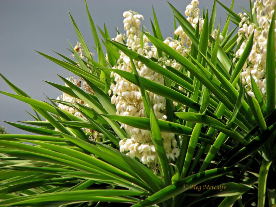 yucca flower garden andalucia home spain