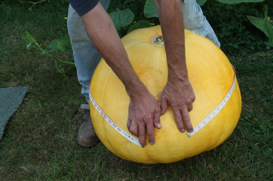 This years Giant Pumpkin is the biggest I have grown.  Now what to do with it and the others I have.