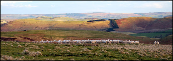 sheep hills landscape panorama northumberland