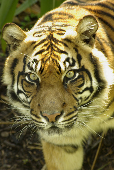 animal mammal nature tiger tigress sumatran cat feline wildlife