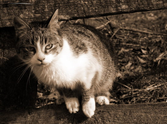 cat pose look animal sepia
