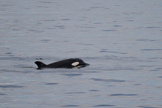 whalewatching Bellingham Washington SanJuan Orca