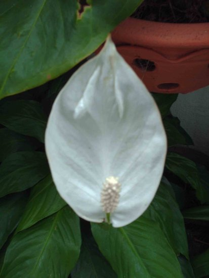 madeira island portugal 2008 flower anthurium grandma garden whitefriday2 theme